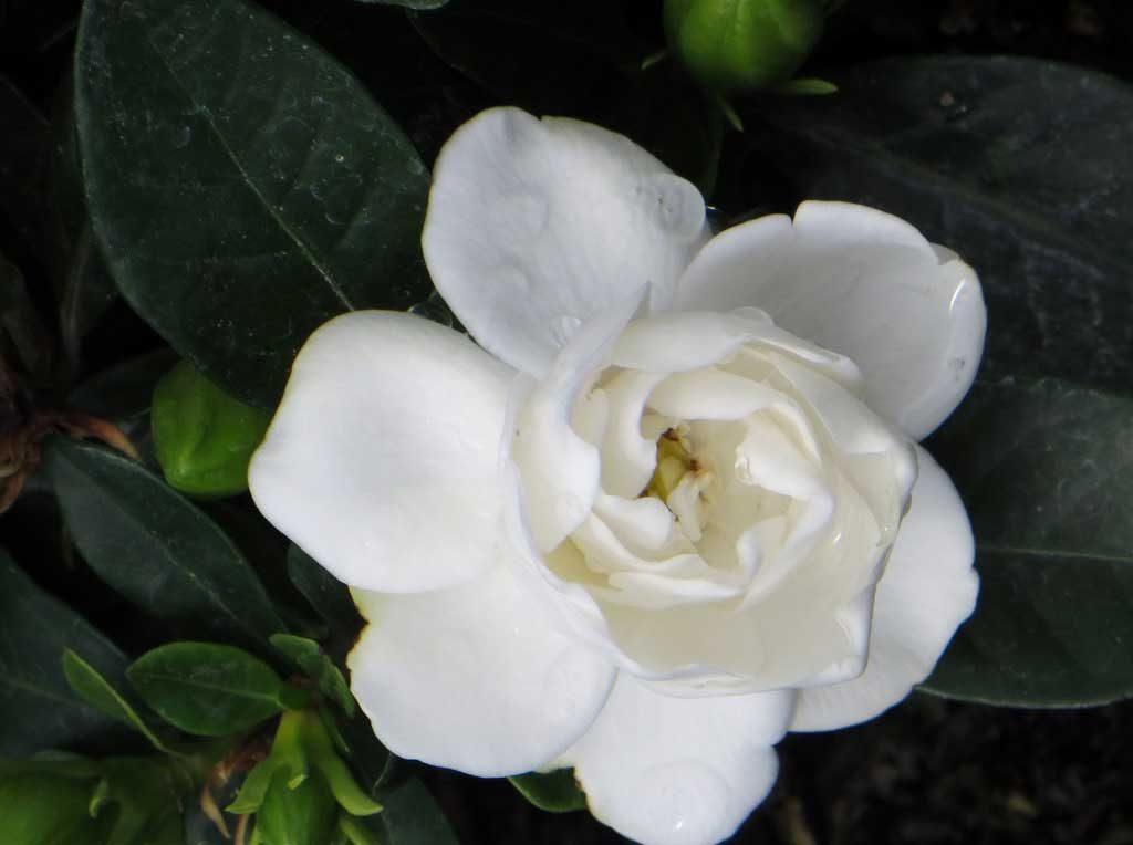 Ciarrocchi's Gardenias